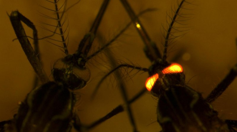 Dengue-resistant mosquitoes were give a red-eye gene to distinguish them from regular mosquitoes. CREDIT CSIRO