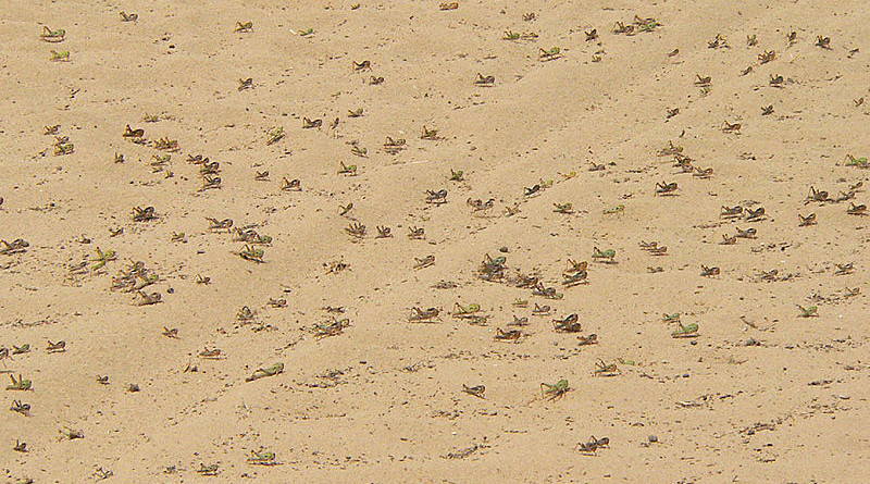 Locusts in Sudan. Photo Credit: ChriKo, Wikipedia Commons