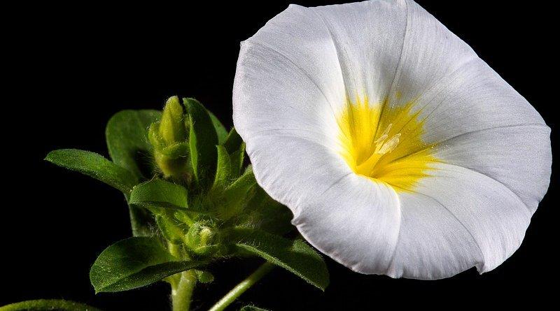Morning Glory Flower Bloom Blossom Floral White