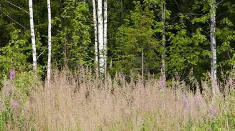Calamagrostis arundinacea grass in the field. Photo: Raisa Mäkipää.