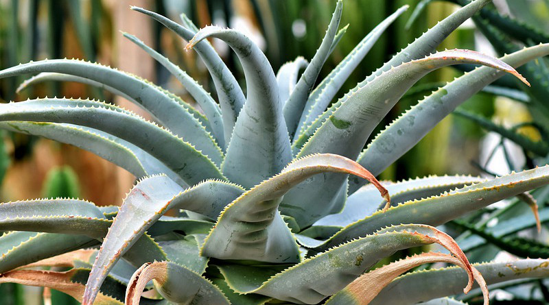 Agave Cactus Succulent Spur Prickly Green Desert