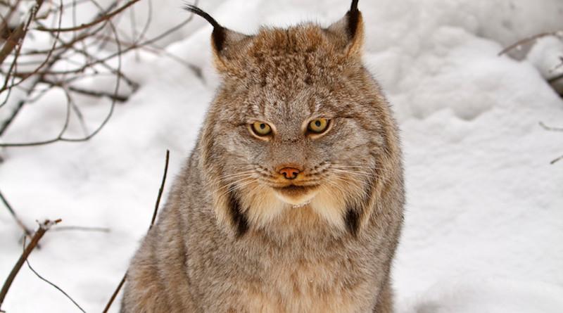 Canada lynx. Photo Credit: Michael Zahra, Wikipedia Commons
