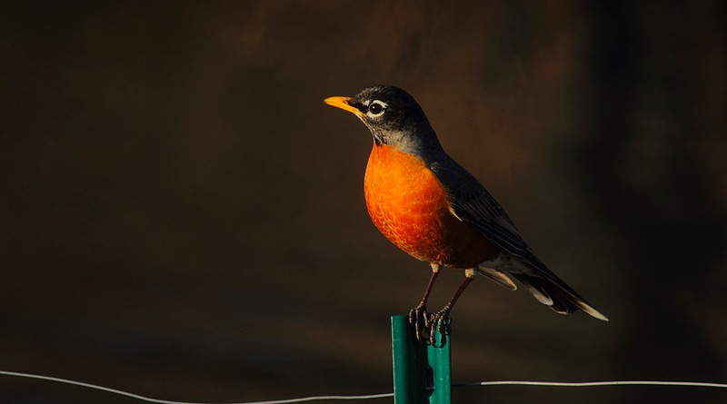 American Robin Bird Wildlife Fence Wire Perched