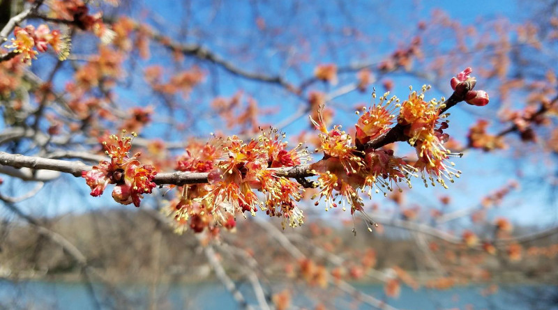 The researchers found that trees, like maples, oaks and willows, were the most important spring pollen sources for honey bees. CREDIT Douglas Sponsler, Penn State
