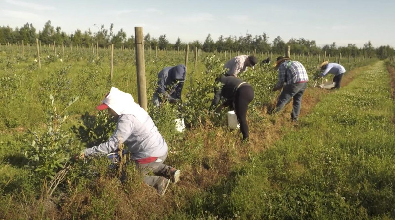Workers pick blueberries in Skagit County, Washington state, in 2018. This image is from a video demonstrating a partnership between UW researchers and Washington farmworkers. CREDIT UW Department of Environmental & Occupational Health Sciences