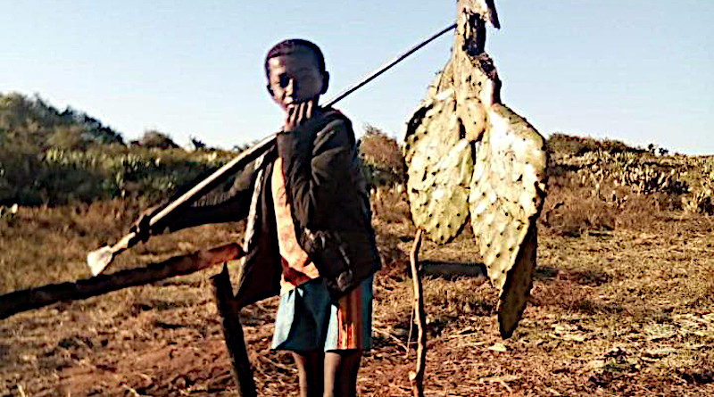 A young boy in southern Madagascar carrying prickly pear (raketa) to provision his cattle. CREDIT Kristina Douglass, Penn State