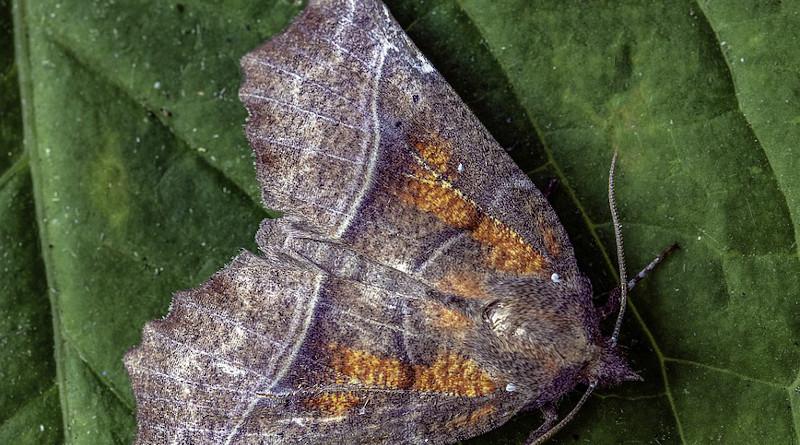 Moth Antenna Pattern Scales Herald Orange Spring