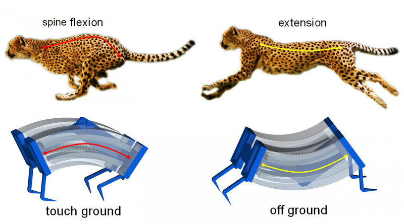 Inspired by the biomechanics of cheetahs, researchers have developed a new type of soft robot that is capable of moving more quickly on solid surfaces or in the water than previous generations of soft robots. CREDIT Jie Yin, NC State University