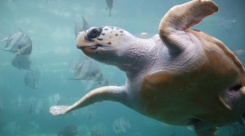 Example of Loggerhead Sea Turtle. Photo Credit: ukanda, Wikipedia Commons
