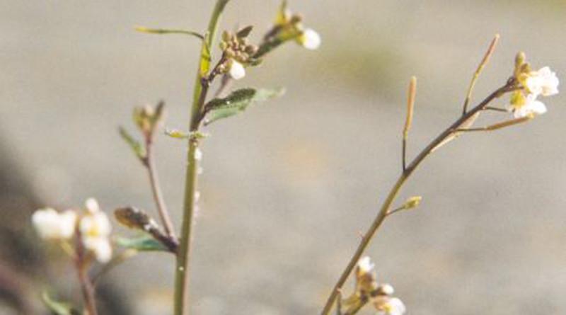 Thale cress. Photo Credit: Wikipedia Commons