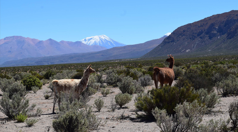 The llamas of the Andes' high plateau are unaware of the enormous amount of magma below their hooves. Photo: Osvaldo González-Maurel