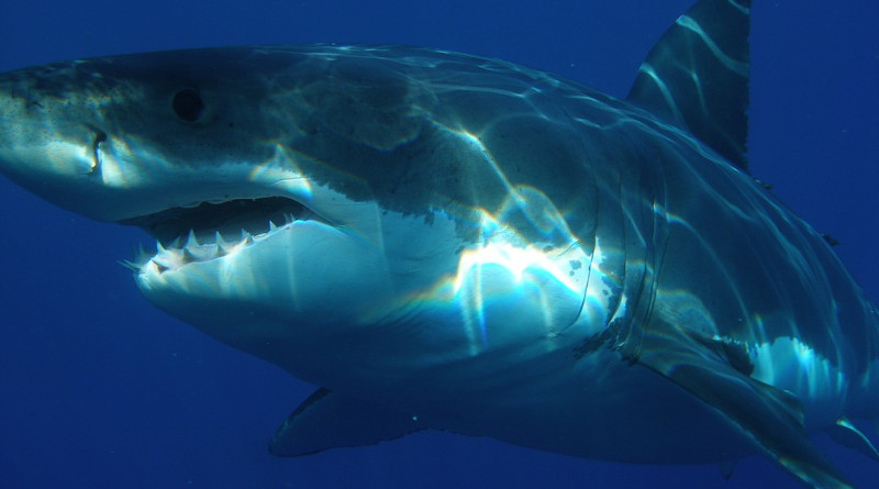 Great White Shark Shark Jaws Fish Dangerous