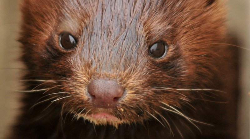 Mink Young Baby Portrait Face Head Wildlife