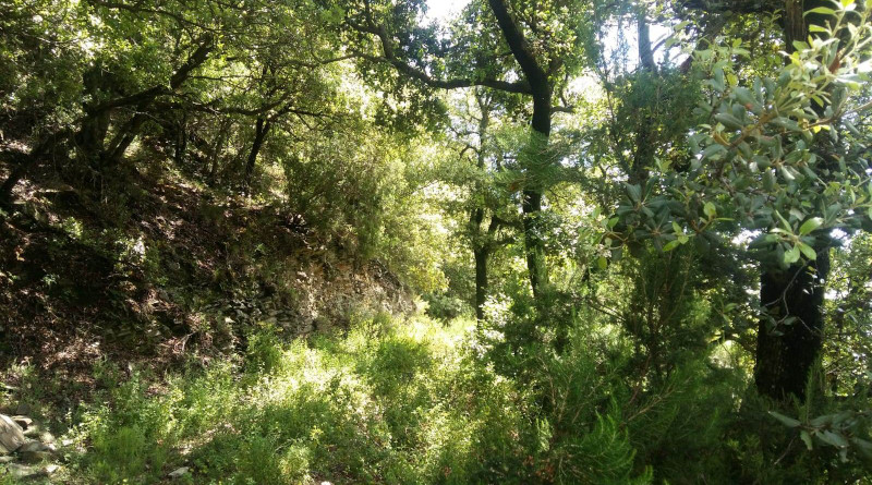 Mediterranean holm oak forest located in the Montseny Natural Park