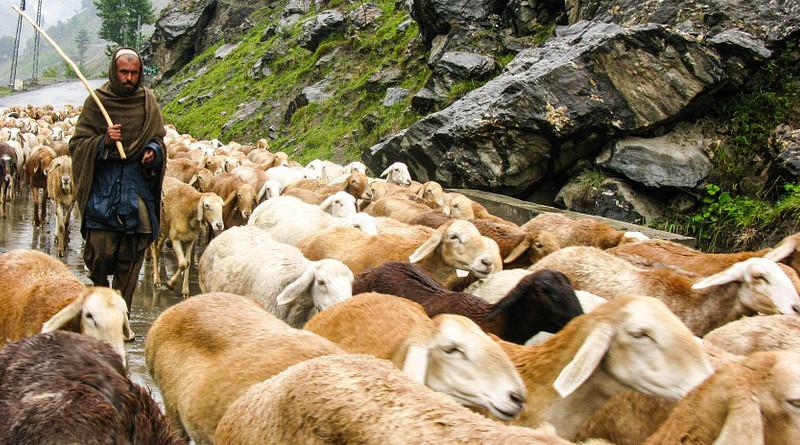 Flock Sheep Mountain Rain Nature Pasture Grass Pakistan