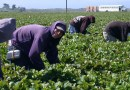 Migrant Immigrant Farm Latino Agriculture Strawberry Hardwork Field Farm Latinos