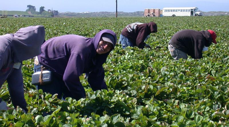 Migrant Immigrant Farm Latino Agriculture Strawberry Hardwork Field Farm Latinos