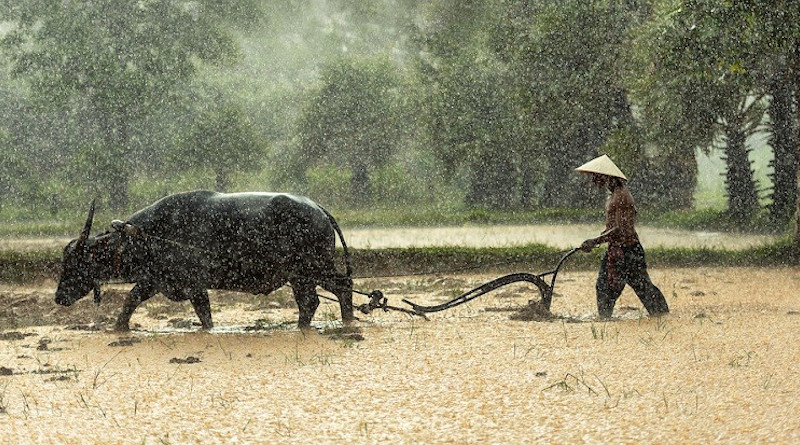 Rice Buffalo Farmer Cultivating Agriculture Asia