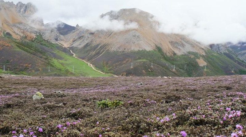 Rhododendron nivale subsp. boreale Shrubland in the Qinghai- Tibet Plateau (QTP), Himalaya, and Hengduan Mountains (THH). CREDIT: Image by Ding Wenna