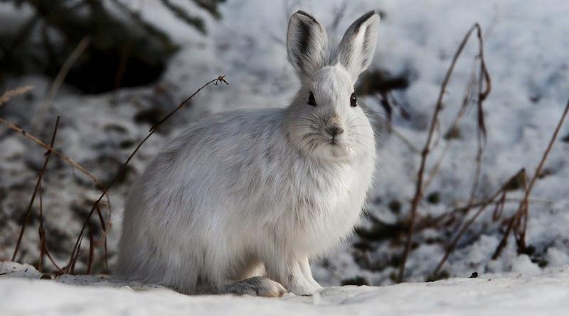 Rabbit Hare Snowshoe Bunny Wildlife Nature Cute