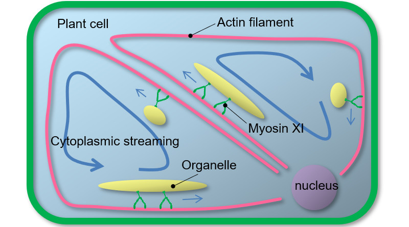 Cytoplasmic streaming in plant cells In the plant cell, actin filaments, which are cytoskeletal proteins, are stretched around. Plant myosin XI bound to organelles moves directionally on these actin filaments, resulting in active intracellular transport called cytoplasmic streaming. Myosin XI bound to organelle moves on actin filaments as if it was walking by alternating two motor domains. © Motoki Tominaga