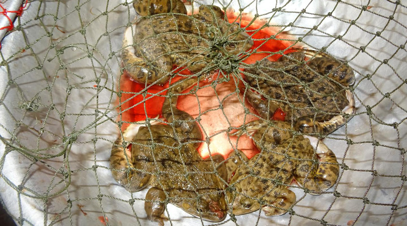 East Asian bullfrogs with broken legs at a market in Laos. CREDIT: Dr Thomas Ziegler