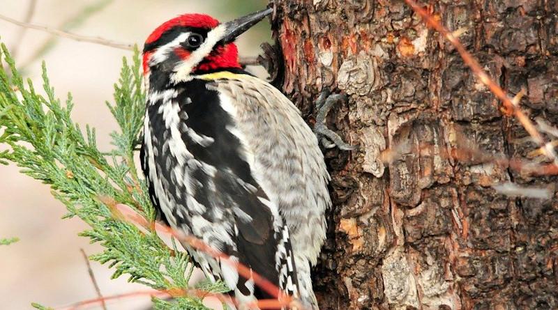 Bird Red Naped Sapsucker Perch Wildlife Nature Portrait