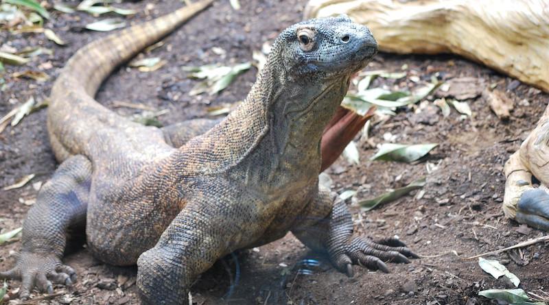Reptile Komodo Dragon Wildlife Lizard Dragon Wild