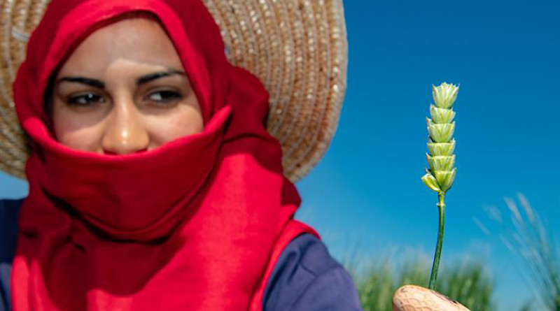 A cross pollination is made by the field team in Lebanon to bring together modern varieties with wild relatives. CREDIT: Michael Major