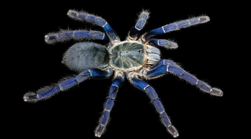 A Cobalt Blue Tarantula (Hapolpelma lividum), with brilliant cobalt blue hair-like setae on its legs. CREDIT: Bastian Rast