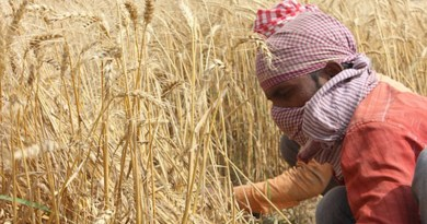 Wheat Fields Punjab Patiala Men Farmer India