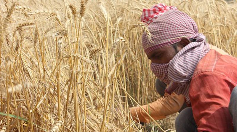 Wheat Fields Punjab Patiala Men Farmer India
