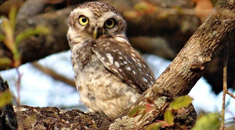 Spotted Owlet Athene Brama Bird Owl Nocturnal