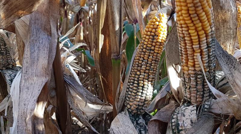 Researchers at the University of Göttingen have discovered that the spores of the fungus Trichoderma, which is contained in some organic plant protection products, can cause severe cob rot in maize (corn). CREDIT A Pfordt, University of Göttingen