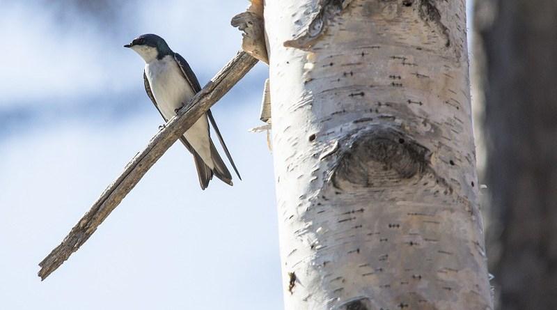 Tree Swallow Bird Wildlife Nature Tree Branch