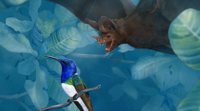 Hypothesized approach of a sleeping white-necked jacobin, Florisuga mellivora, by the fringe-lipped bat, Trachops cirrhosus. CREDIT: Illustration by Amy Koehler