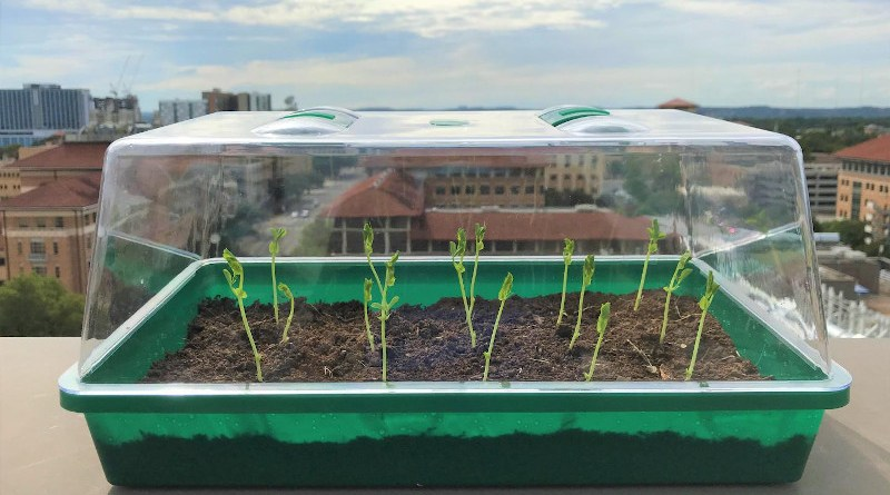 Researchers planted radishes in this miniature greenhouse using their self-watering soil and compared it to sandy soil found in dry regions of the world. CREDIT: University of Texas at Austin