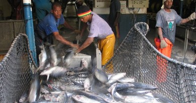Fish catch being processed in Seychelles. Photo Credit: Joe Laurence, Seychelles News Agency