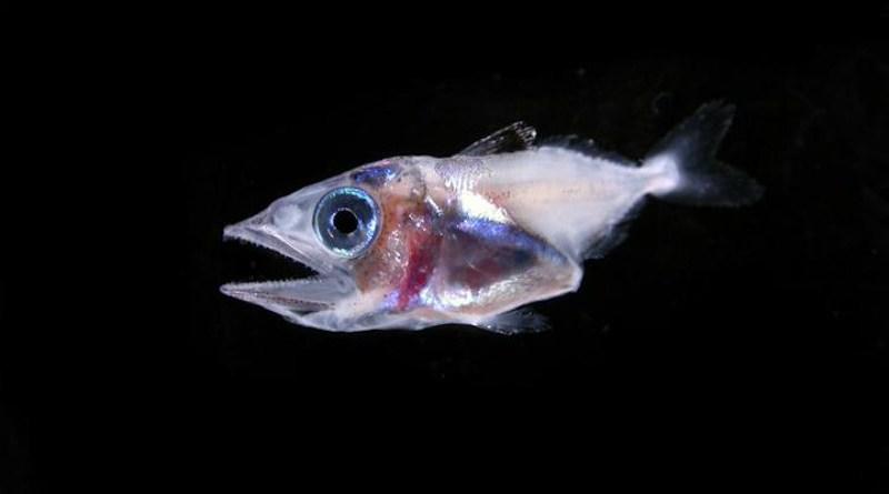 Larval tuna. CREDIT: Cedric Guigand