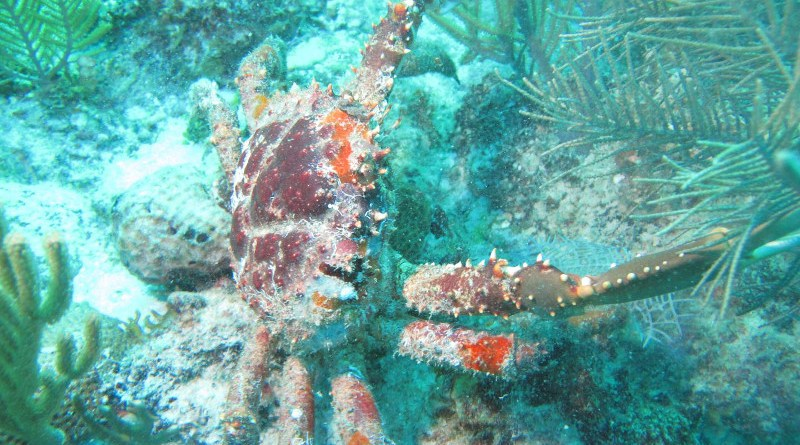 This image shows a Caribbean king crab. CREDIT Angelo Spadaro