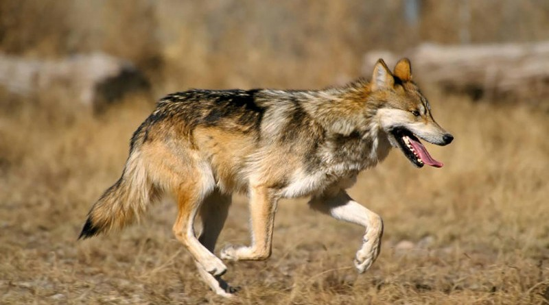 New research can help ecosystem managers identify species vulnerabilities and prevent populations from becoming at risk, like the endangered Mexican gray wolf. CREDIT U.S. Fish and Wildlife Service