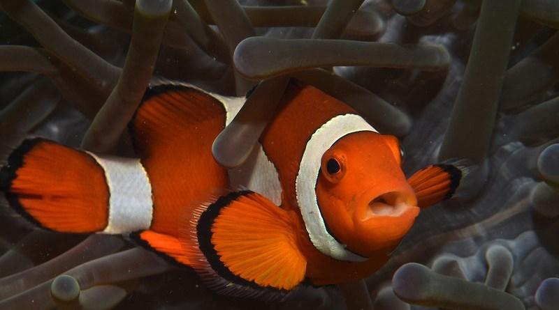 clownfish fish