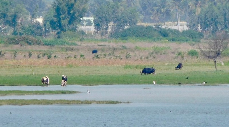 Hoskote lake, one of the six lakes that serves as sources of water used for irrigating crops and vegetables in Bangalore in India. Image credit: Prashanth NS, Wikimedia Commons