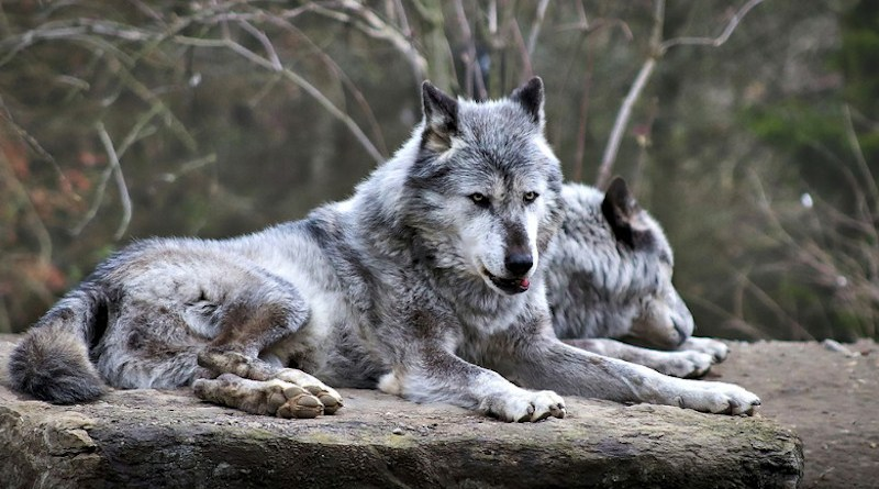 Wolves Wolf Wild Canine