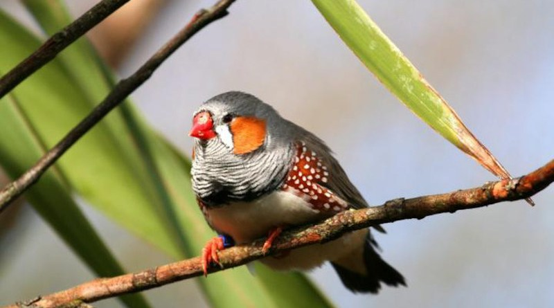 A male zebra finch displaying its bright red beak and orange cheek patches in the wild. CREDIT Photo courtesy of Adobe Stock / Xavier MARCHANT