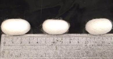 The resultant cocoons with different CNF wt% (0,5, and 10 wt% from left to right). CREDIT Tohoku University