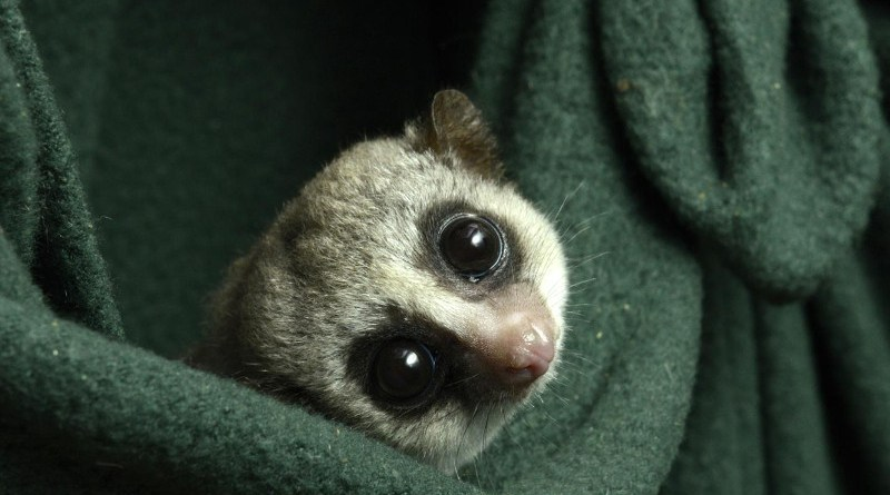 Researchers at the Duke Lemur Center have been changing up their care to more closely match the seasonal fluctuations they experience in the wild. CREDIT Photo by David Haring, Duke Lemur Center