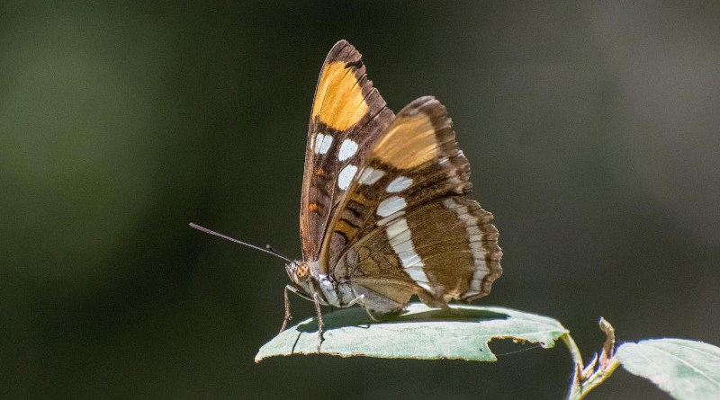 Butterfly decline was estimated using data from 72 locations with at least 10 years of data per location and more than 250 butterfly species, including this Adelpha bredowii, or California Sister. The total time span encompassed by the study is 42 years, from 1977 to 2018, and the average length of time series from individual sites was 21 years. CREDIT Chris Halsch, University of Nevada, Reno