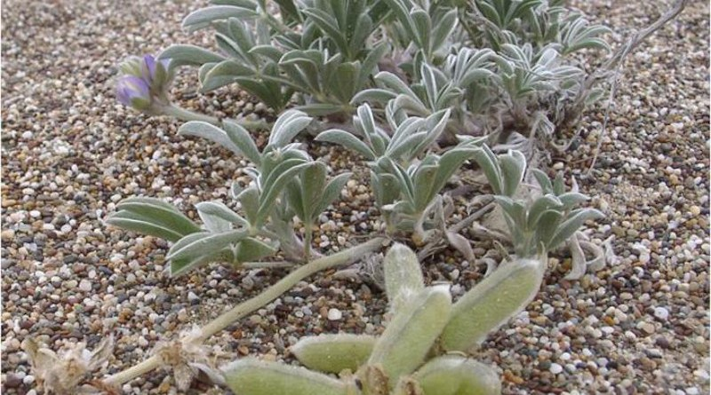Climate change represents a specific extinction threat for an endangered coastal lupine plant known as Tidestrom's lupine (Lupinus tidestromii), found at the Point Reyes National Seashore, California, United States. CREDIT Eleanor Pardini, Washington University in St. Louis