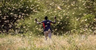 Locust swarm at Samburu, Kenya. Image by Sven Torfinn/FAO.